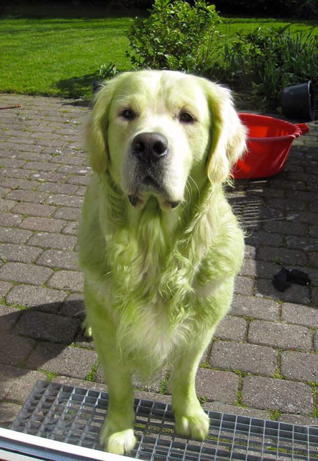 Стриг газон... собаки, щенки. юмор