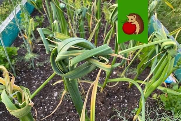 Ошибки в завязывании чеснока, которые ухудшают урожай