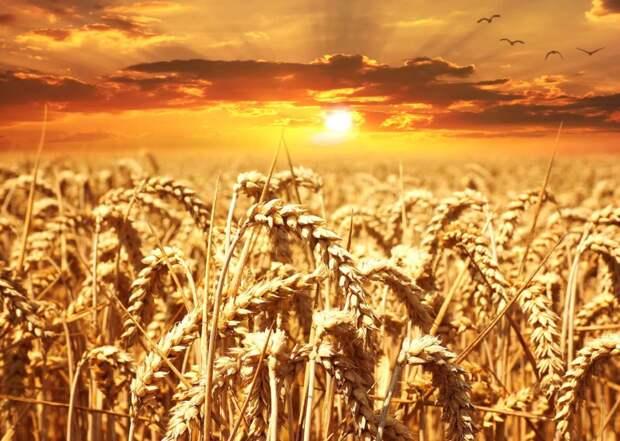 Россия с 1 марта повышает экспортную пошлину на пшеницу - до 50 евро за тонну