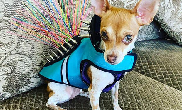 Хозяева маленьких собак придумали костюм, который защищает животных от больших хищных птиц