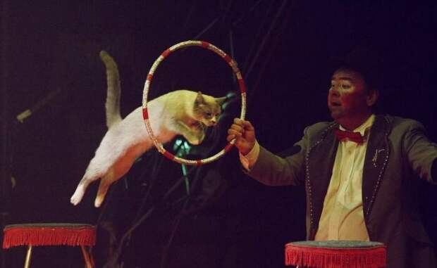 При желании кота можно выучить не хуже, чем собаку. /Фото: yandex.ua.