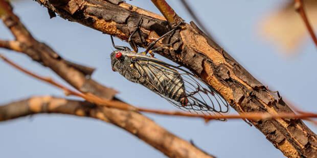 Миллиарды цикад с ярко-красными глазами выбрались из-под земли на востоке США