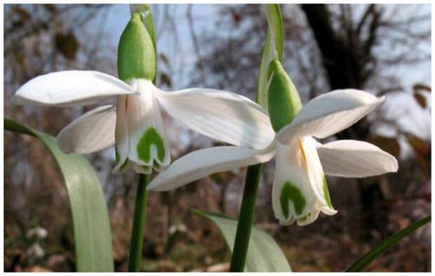 Galanthus transcaucasicus Fomin — Подснежник закавказский интересное, подснежники, сорта, факты