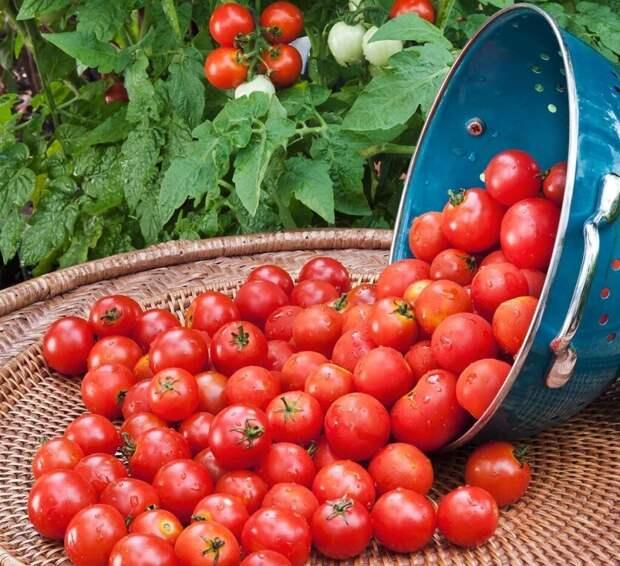 Как сэкономить и получить высокий урожай томатов на даче или огороде без теплицы