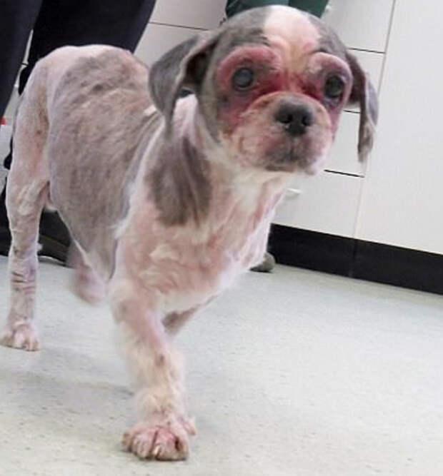 Брошенную собаку с приросшей к уху лапой пришлось брить под наркозом