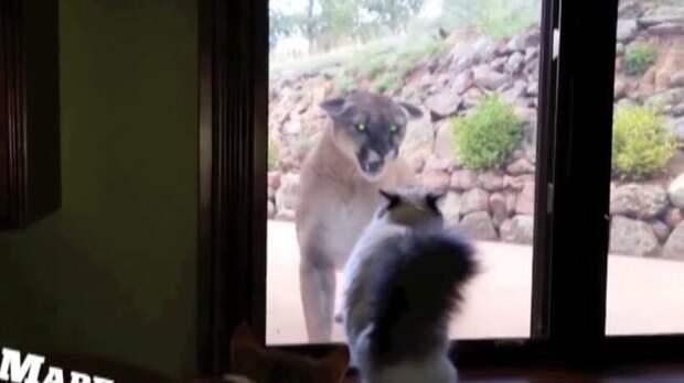 Видео: Встреча горного льва с домашними кошками
