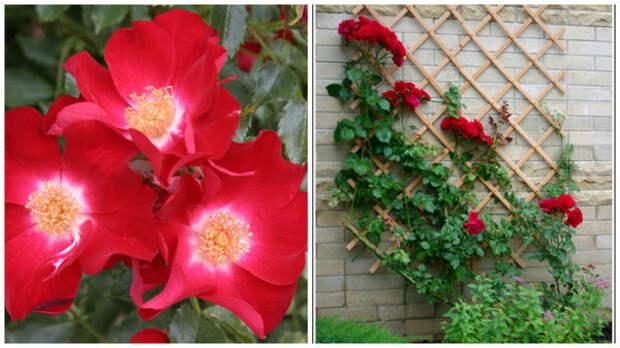 Роза Кордеса сорт Dortmund, фото с сайта baumschule-horstmann.de. Решетки на стенах для таких роз, фото А. Папкова