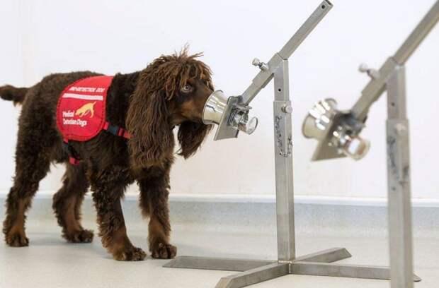 Для выявления людей с коронавирусом могут использовать специально обученных собак
