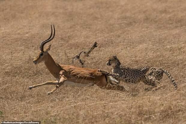 Антилопа обманула смерть
