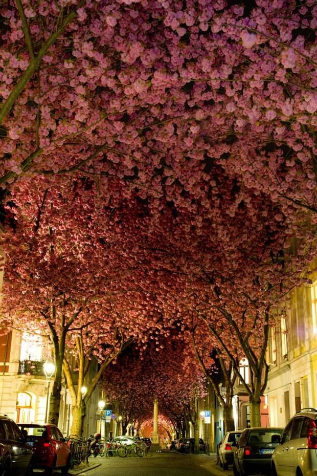 Цветущие вишни в Бонне, Германия