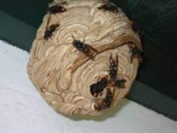 У тропической осы, терроризирующей испанских пчел, наконец нашелся естественный враг
