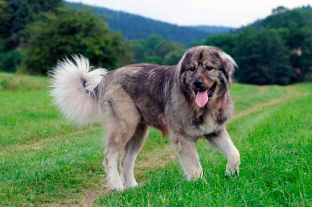 7 пород собак, которые победят волка