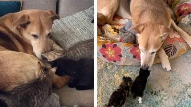 Невероятно трогательное видео заботы пса-няньки о разных котята