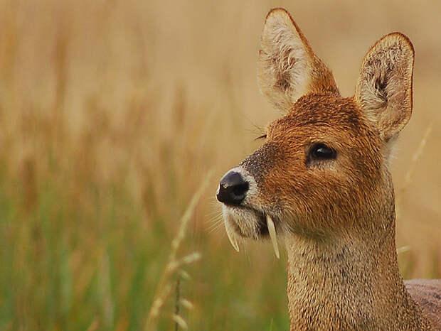 Оказывается, есть олени с клыками и без рогов. Еще они умеют лаять и свистеть