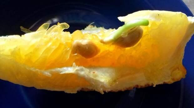 Было | Стало в апельсиновых тонах. Апельсин, Проращивание семян, Было-Стало, Фотография, Текст, Длиннопост