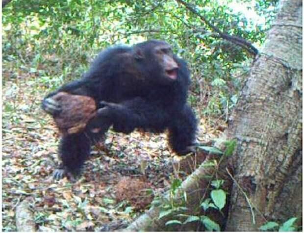 Тайны XX века: 50 лет назад шимпанзе развязали в Африке гражданскую войну