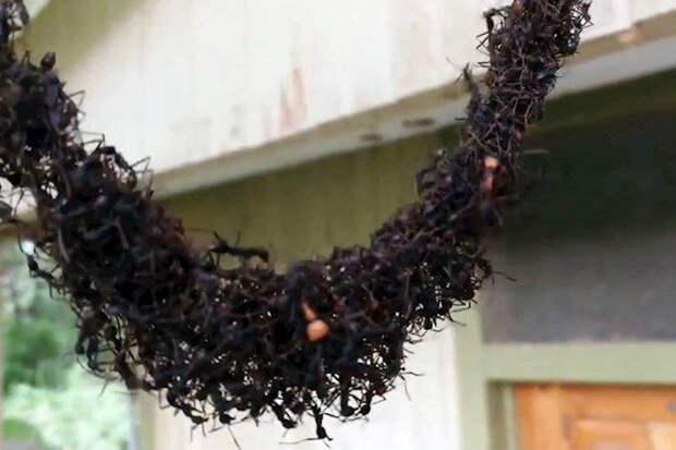 Миллион муравьев пошел войной на огромное осиное гнездо
