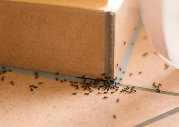 Выпроводить муравьев из дома.   Фото: Agronomu.