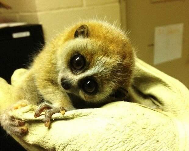 В дикой природе лори живут 15 лет, но в зоопарках их срок жизни может продлиться аж на 10 лет!