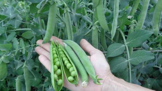 Легкая и бюджетная подвязка гороха, гарантирующая обильный урожай