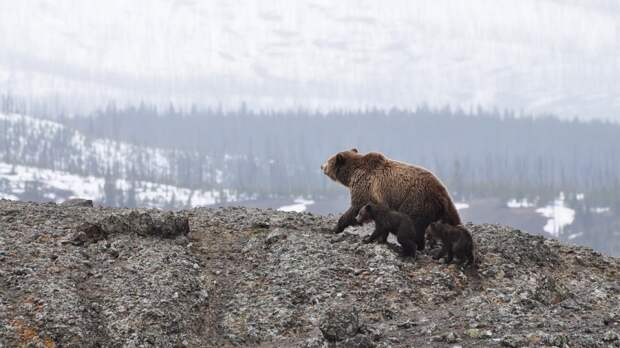 Жужжащий квадрокоптер помог туристам на Курилах спастись от медведя