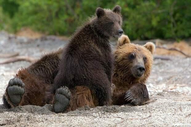 Медведица вышла к людям, чтобы спасти своих малышей