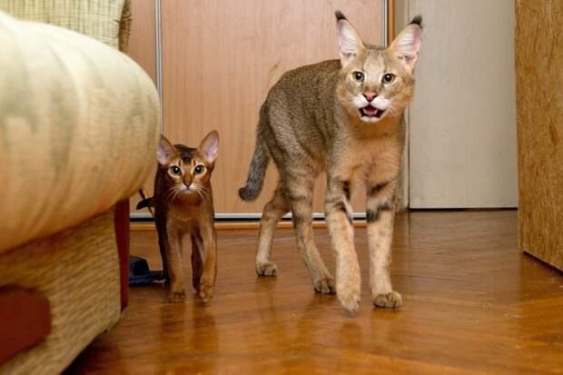 Кстати, камышовые коты могут жить и дома. Более того, путём скрещивания камышового кота с породой Абиссинская кошка была создана порода под названием хауси.