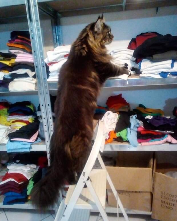 Залезть на какую-нибудь полку и всё оттуда столкнуть длина, домашний питомец, животные, кот, красавчик, милота, рекорд гиннесса