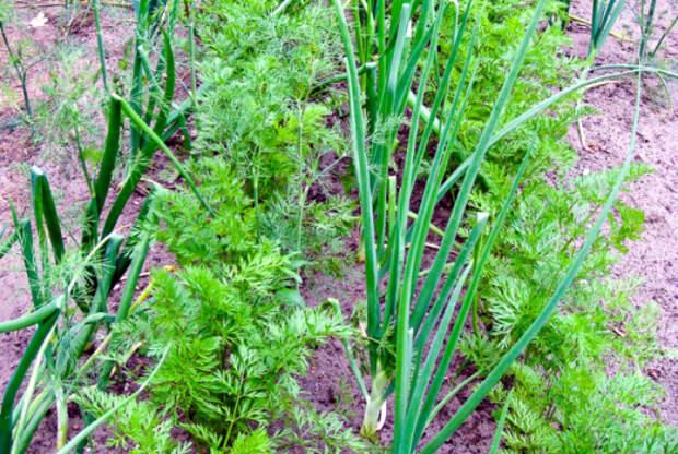 Лук и морковь – неудачное соседство. | Фото: Про ферму.