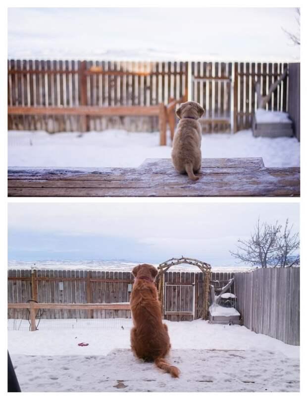 19 фотографий выросших щенков, которые заставят вас буквально прослезиться от умиления время, животные, милота, собаки, фото, щенки