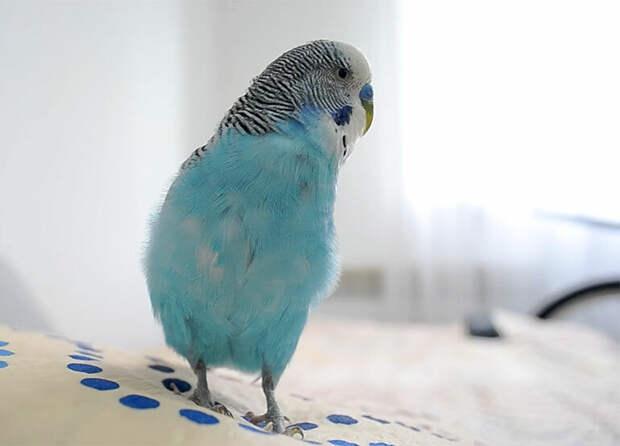 Потерявшийся попугай среагировал на шторы