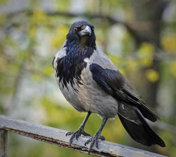 Серая ворона. (ponafotkas)