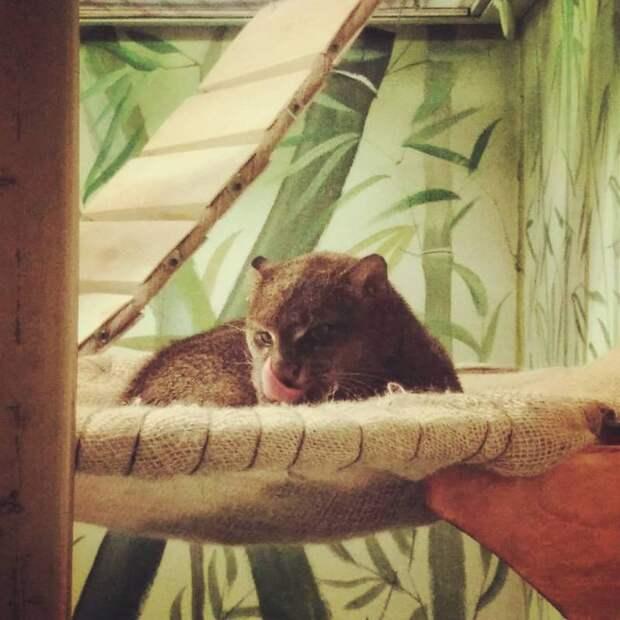 В зоопарке Екатеринбурге теперь можно увидеть ягуарунди
