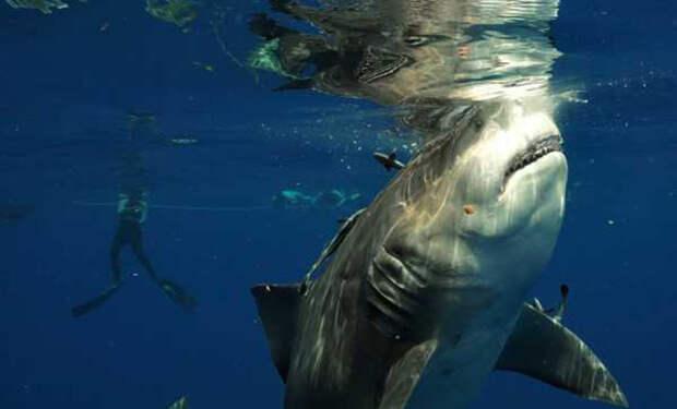 Дайвер снимал подводный мир и не заметил, как сзади подплыла огромная акула и решила его рассмотреть