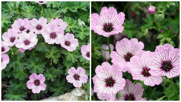 Герань сизая или пепельная, общий вид. Фото с сайта davesgarden.com. Герань сизая или пепельная, цветки крупным планом. Фото с сайта www.crocus.co.uk