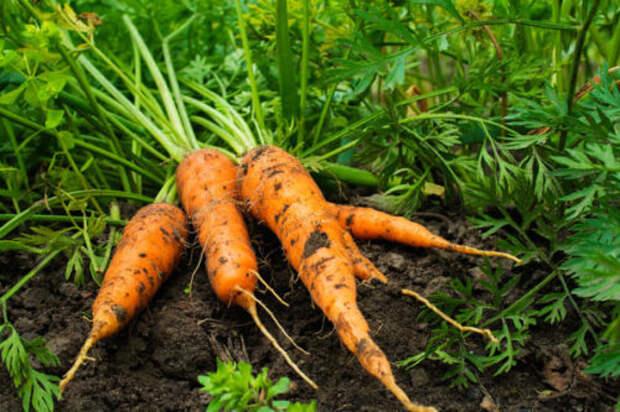 Эффективный раствор для моркови