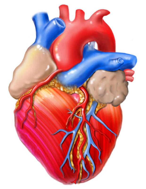 Клетки сердца