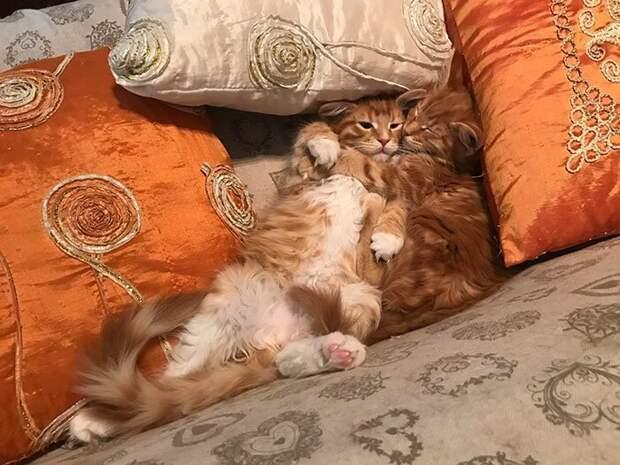 Брат и сестра домашние животные, животные, забавно, кошки, мило, мэйкуны, очаровательно, смешно