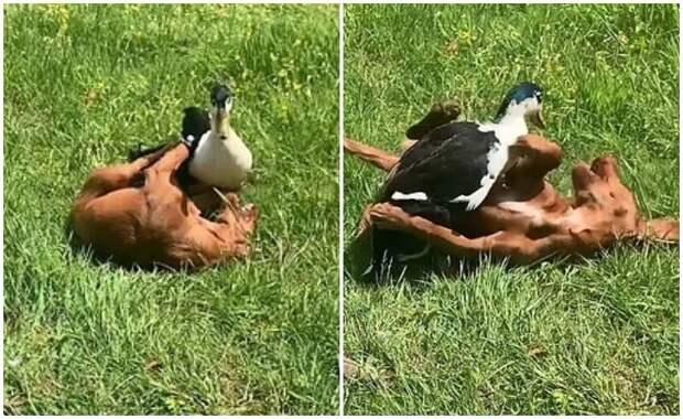 Неожиданная дружба взрослой утки и щенка