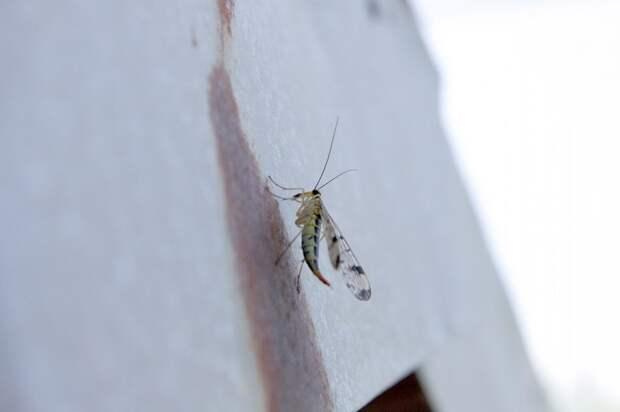 Скорпионовая муха (Panorpidae). Фото сделано в Краснодаре
