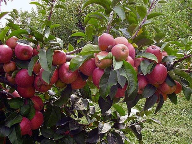Рассказываю, что нужно делать, если не плодоносит яблоня