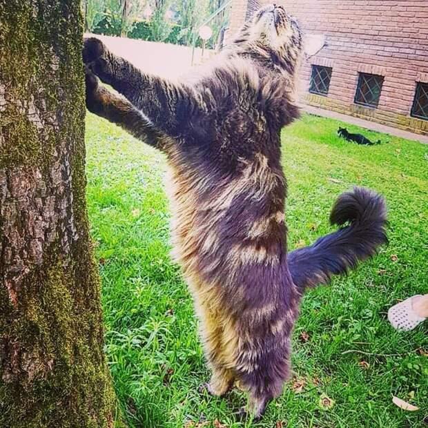 Его больше интересуют стандартные кошачьи дела: помечтать о высоком длина, домашний питомец, животные, кот, красавчик, милота, рекорд гиннесса