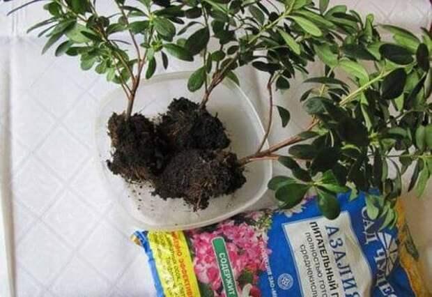 Размножается азалия и методом деления куста