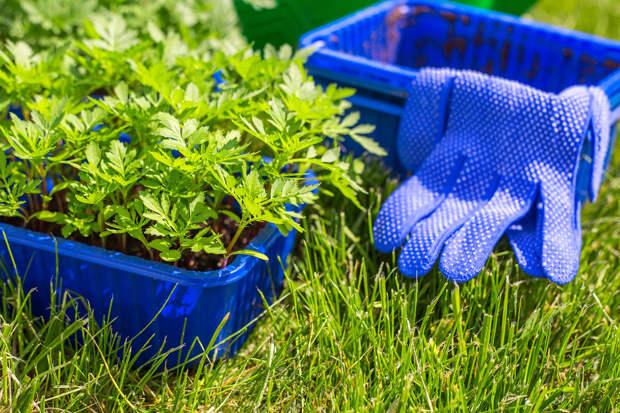 О пользе бархатцев, или Как красота спасает сад и огород