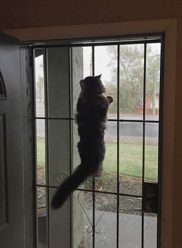 Запах свободы домашние животные, животные, забавно, кошки, мило, мэйкуны, очаровательно, смешно