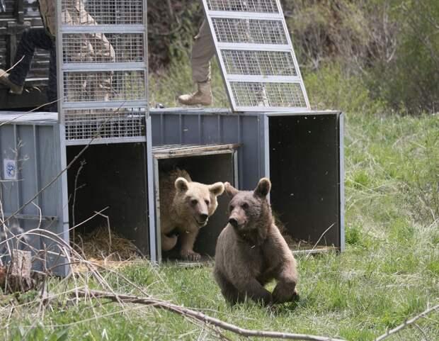 Медведицу с медвежатами, освобожденную из армянского ресторана, выпустили на волю