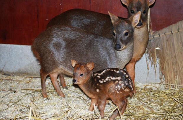 Три кило обаяния: самый маленький олень