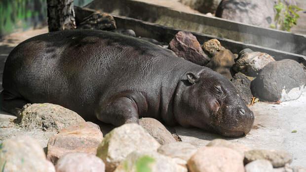 Московский зоопарк выделил 31 млн рублей на домик для бегемота Ксюши