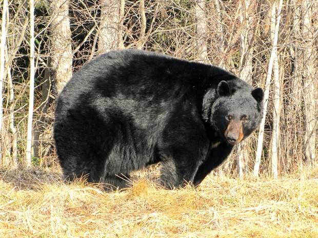 Барибал-медведь-Описание-и-образ-жизни-барибала-5