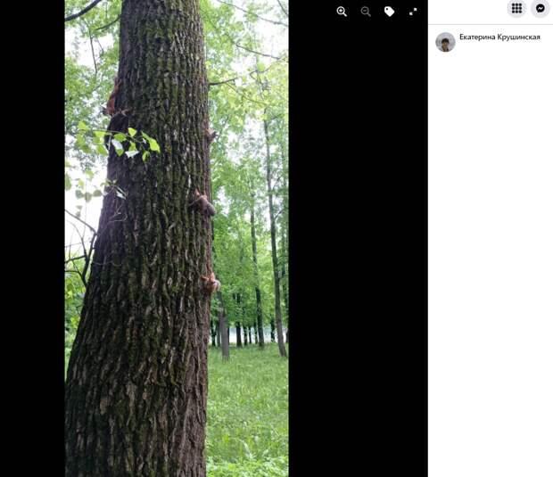Сразу пять белок устроили брачные игры на дереве в Свиблове